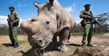 Muere el último macho de los rinocerontes blancos