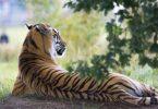 Adopta un tigre