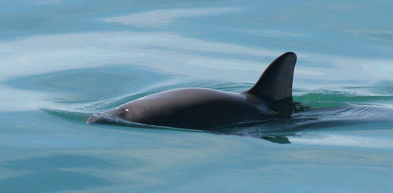 Crece refugio de conservación de la vaquita marina