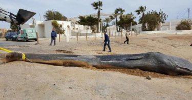 Hallan 30 kilos de basura en el estómago de una ballena