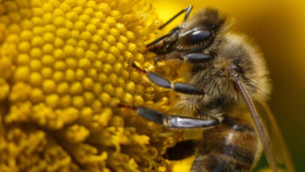 salvar abejas UE prohíbe insecticidas dañinos para ellas