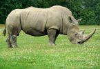 La esperanza en los rinocerontes blancos