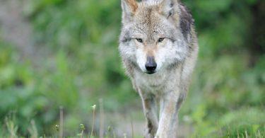 Lobo mexicano le dice adiós a la lista de especies en peligro de extinción