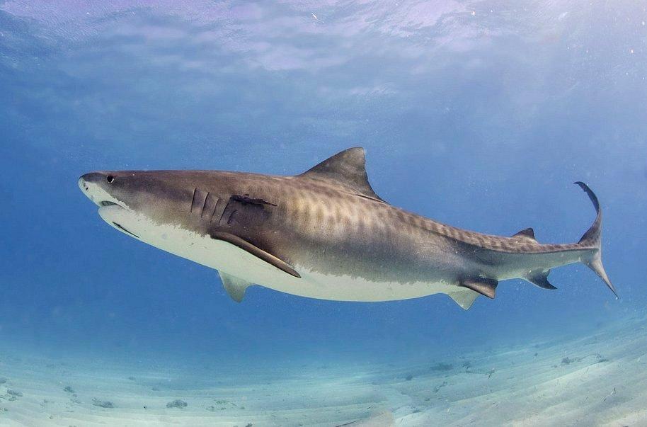 Aceite de tiburón en labiales, varias compañías cosméticas lo usan