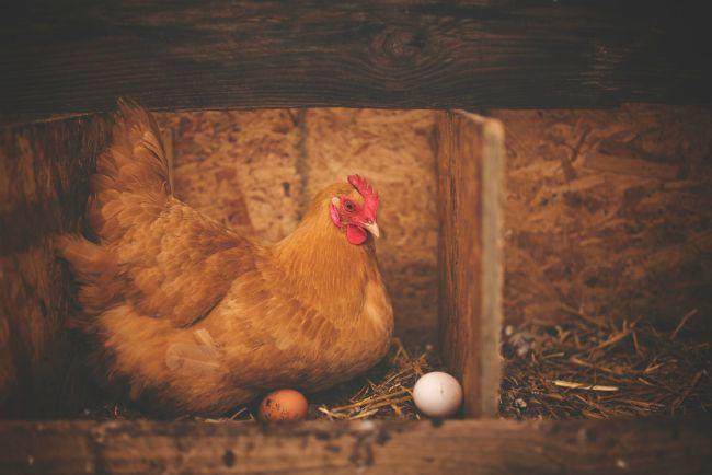 que es el good egg award, nestle, huevo de gallina libre de jaula, mercy for animals, compassion in world farming, rse de nestle, sustentabilidad de nestle, compromiso de nestle con los animales, estandares sobre abastecimiento responsable de nestle, abastecimiento responsable de nestle, responsabilidad social de nestle, gallinas libres de jaula, produccion de huevo
