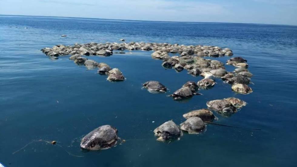 Matan a 300 tortugas en peligro de extinción