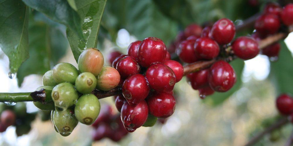 Cómo asegurar el futuro del cafe