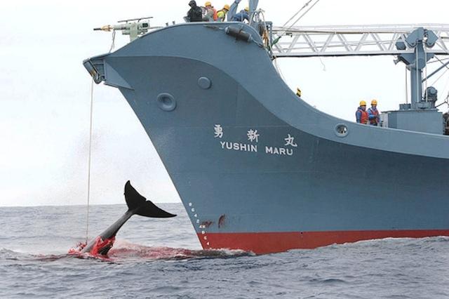 Pesca de ballenas en Japón