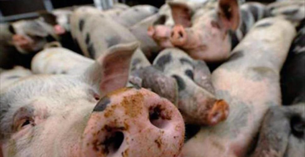 Peste porcina en China
