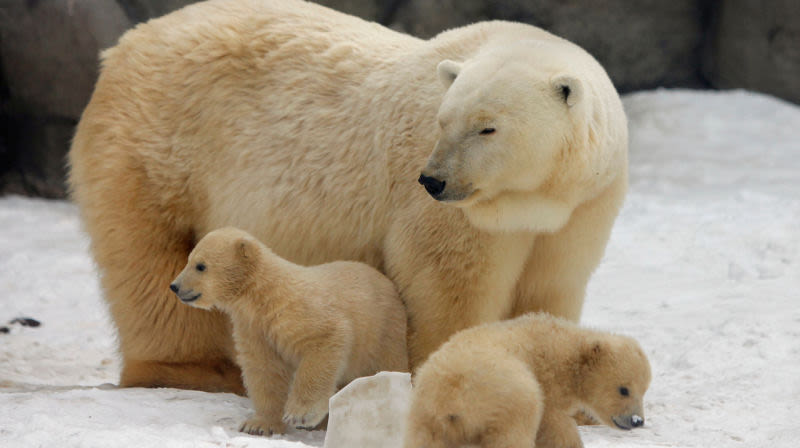 Rusia en estado de emergencia por 'invasión' de osos polares