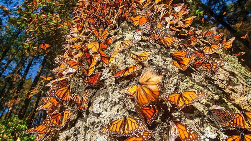 Conservación de la mariposa monarca en México y Norteamérica