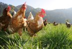 Productores de la industria del huevo de gallinas l