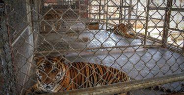 Si te gustan los tigres, necesitas ver esta historia