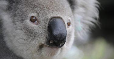koala. Podrían declarar a los koalas en peligro de extinción