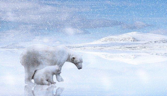 Osos polares. Osos polares, recurren a canibalismo por falta de comida.