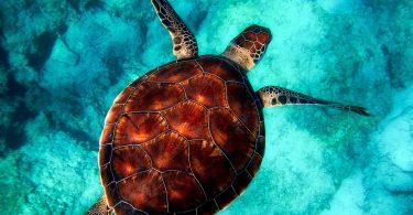 Tortuga. Estudio revela por qué las tortugas comen el plástico