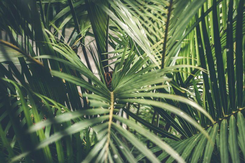 Palma. Crece demanda de aceite de palma y los ecosistemas sufren