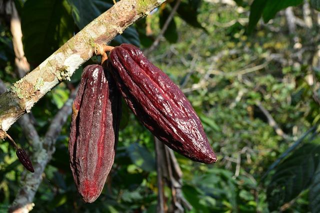 Cacao. La directora de abastecimiento sostenible de Hershey's habla de su cadena de suministro