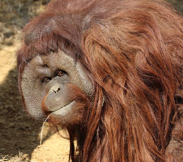Orangutan. Crece demanda de aceite de palma y los ecosistemas sufren