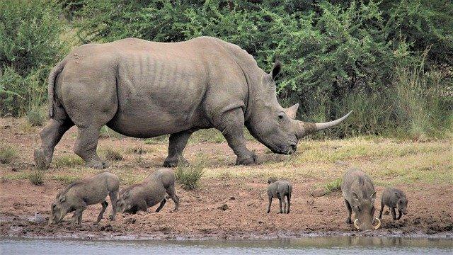 Rinocerontes. ¿Por qué COVID-19 pone en riesgo a los rinocerontes?