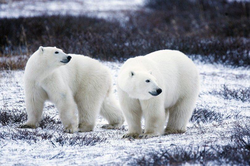 Osos polares. ¿Se acerca el fin de los osos polares?