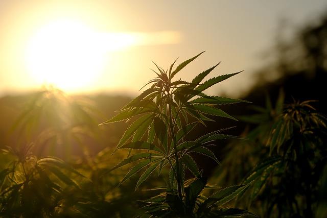 Empaques de marihuana sostenibles