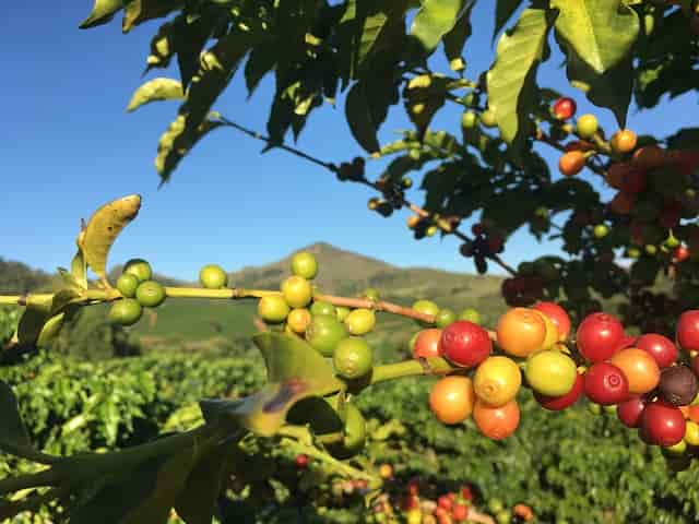 Planta de café. Cómo salvar al café del cambio climático