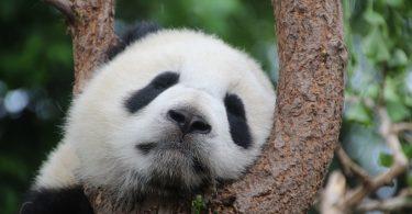 Pandas ya no están en extinción... pero siguen siendo especie vulnerable