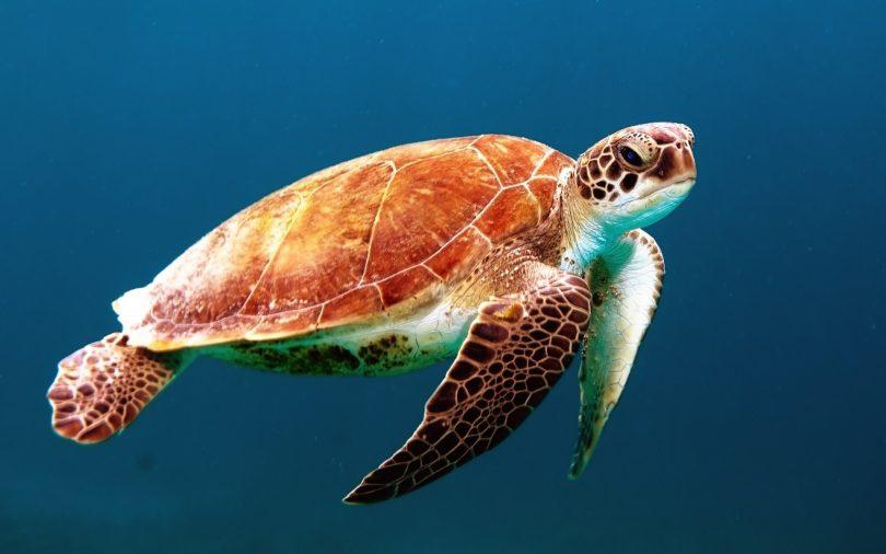 Tortugas marinas: ¿Las grandes ganadoras de la pandemia?