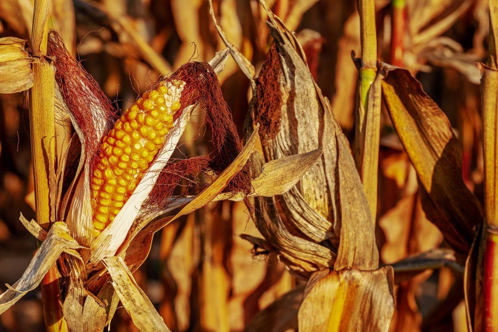 impacto del calor en la economía rendimientos de cosechas